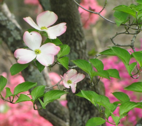 Red/Indian Dogwood Blooms
