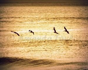Pelicans in flight, early morning.