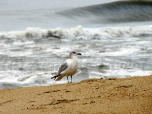 A Laughing Gull on the beach.